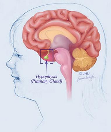 Исследование уровней основных гормонов гипофиза