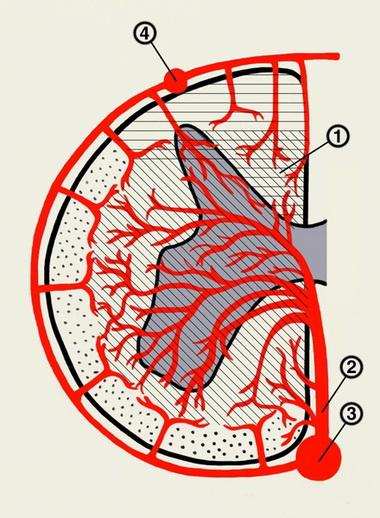 Кровоснабжение больших полушарий