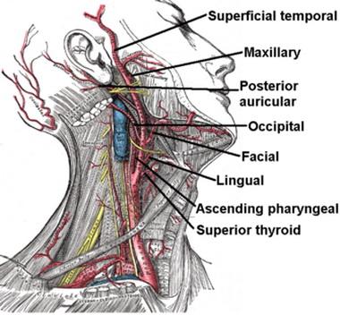 Передняя ворсинчатая артерия