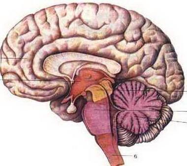 Кровоснабжение среднего мозга